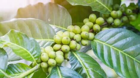 grønne bønner på gren