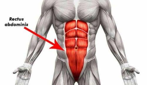 anatomisk tegning af mavemusklerne