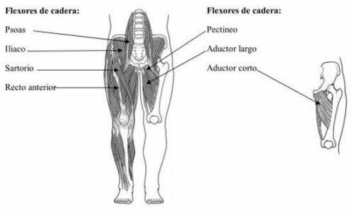 forskellige muskler i underkroppen