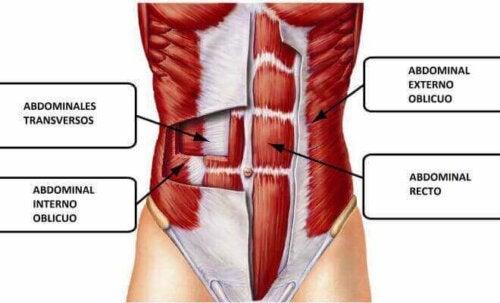 funktioner hos de mavemusklerne