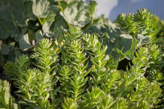 La rhodiola rosea, une plante adaptogène efficace