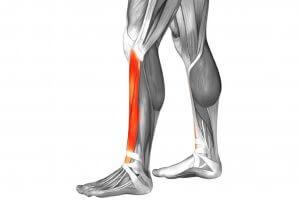 Muscle du tibial antérieur.