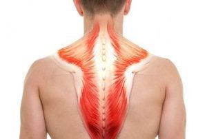 muscles trapèzes