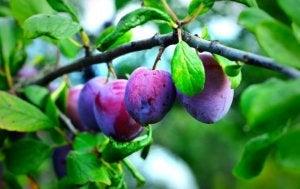 Prunes reines-claude dans un arbre.