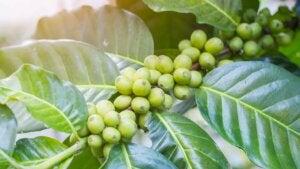 Arbuste du café vert.