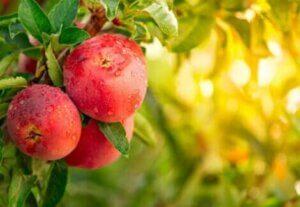 Des pommes sur leur arbre.