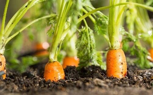 Delle carote affiorano dal terreno coltivato