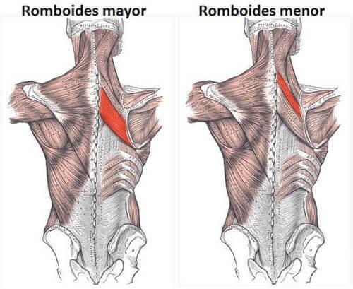 Anatomia dei muscoli romboidi