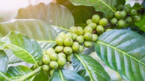 Bønner fra grønn kaffe.