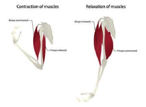 Illustrasjon av triceps.