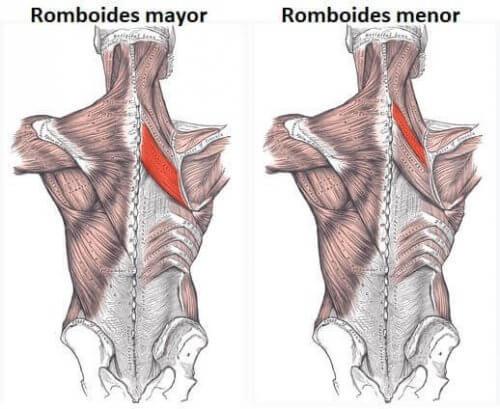 Ruitvormige spieren major en minor