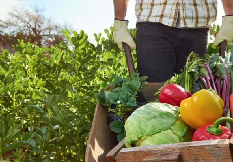 Zbieranie warzyw z ogrodu w taczce