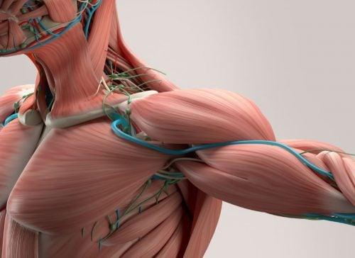 Imagem do tecido muscular na altura do ombro, peitoral e braço