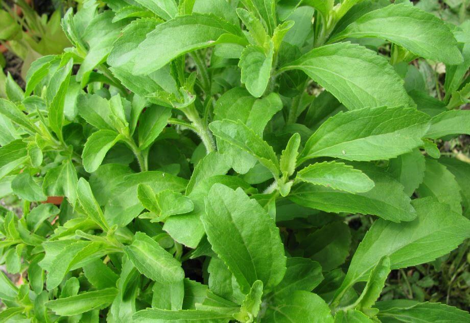 Folhas de stévia
