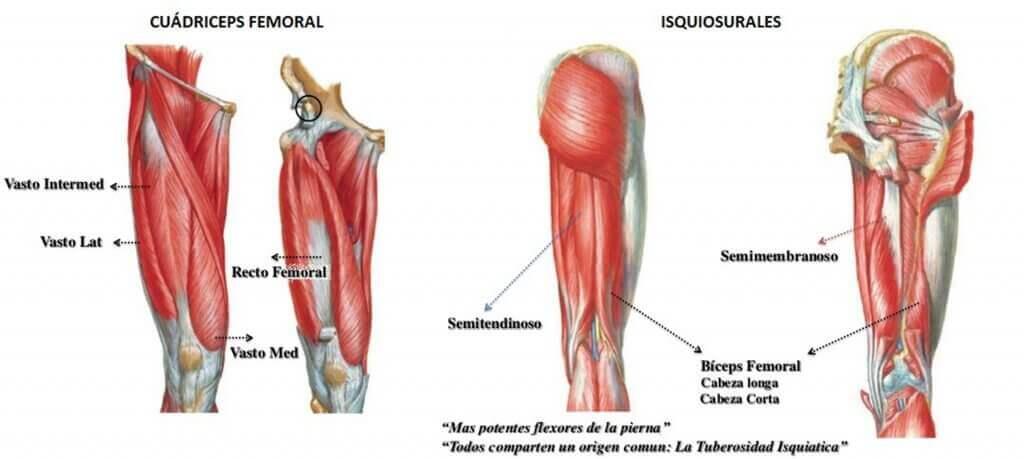 Músculos do quadríceps: suas principais funções