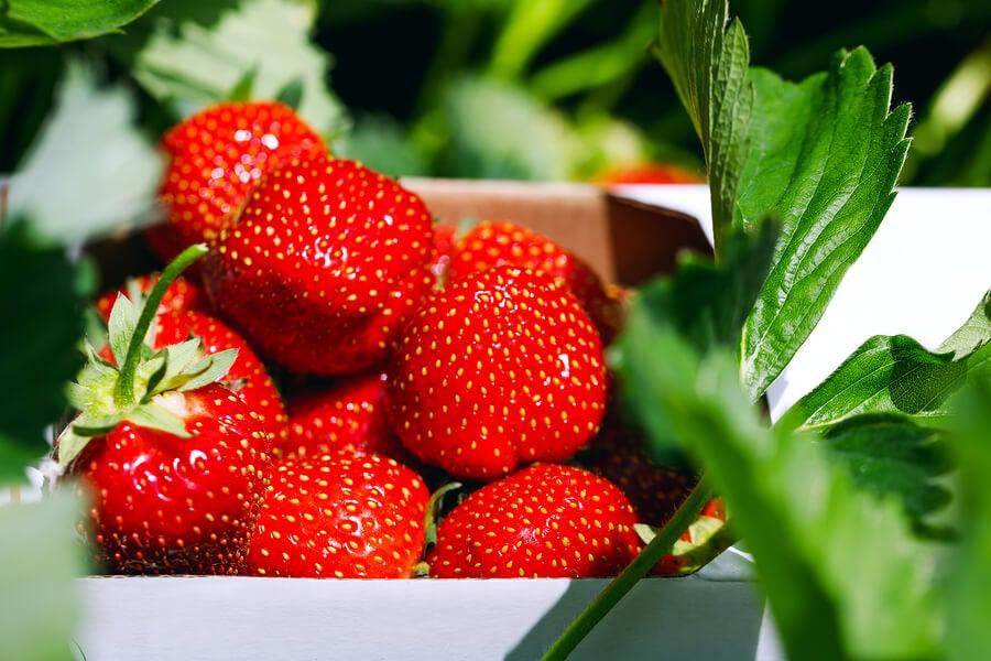 os morangos têm uma alta concentração de antioxidantes