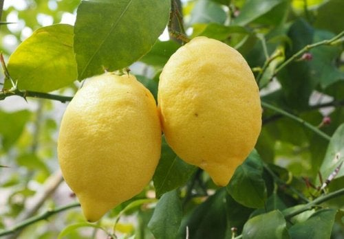 Two lemons hanging from a branch.