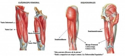 The quadriceps is made up of four muscles.