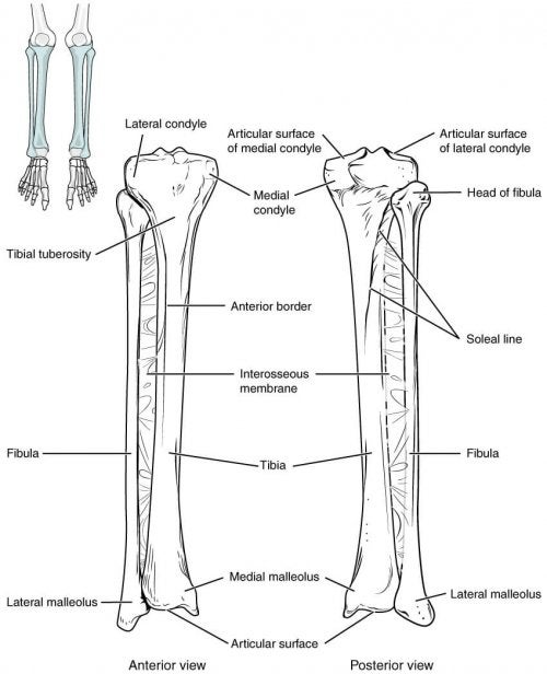 Anatomy of bones involved in ankle fracture
