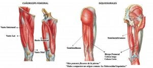 muscle structure of the hamstrings