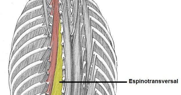 The spinal transverse muscles are very important for daily movement