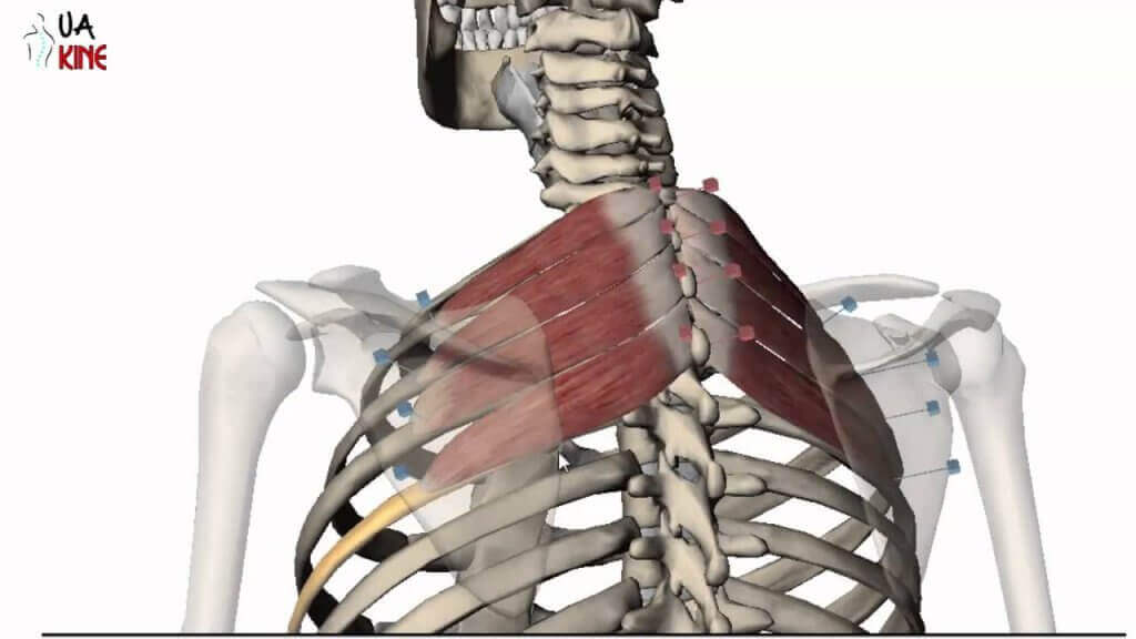 The back muscles are many, and each one fulfills a specific function.