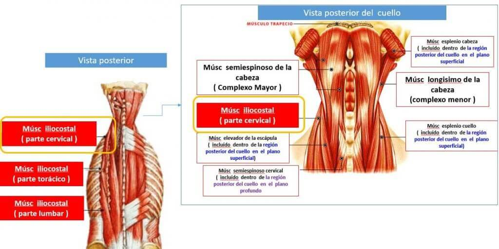 The iliocostalis muscle is one of the intermediates located in the back.