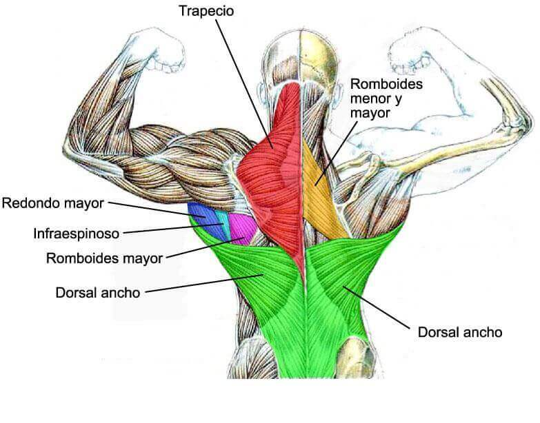 The back muscles are many, and some large.
