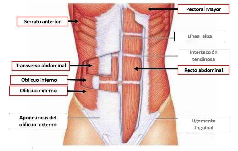 structure of the transverse abdominal muscle