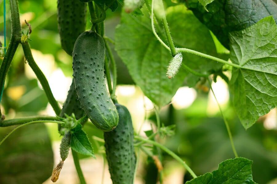 cucumbers consumption
