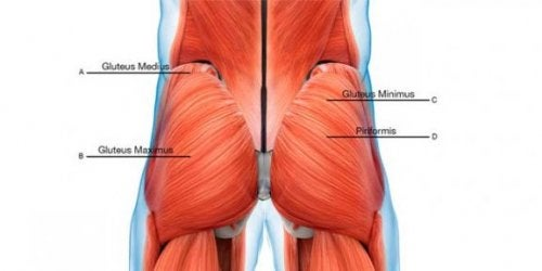 Ilustration showing the various gluteal muscles as described above in the text