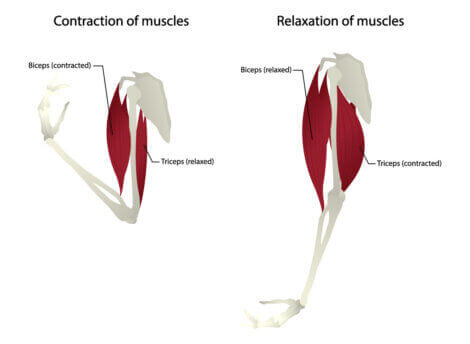Anatomy diagram of the triceps muscle