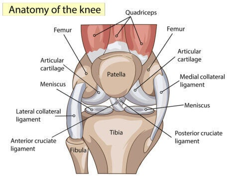 Anatomy of the knee: ligaments and tendons.