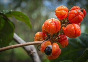 The guarana fruit on a branch.